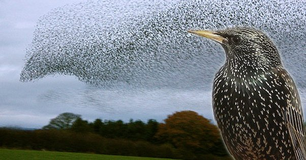 Flocks of Starlings